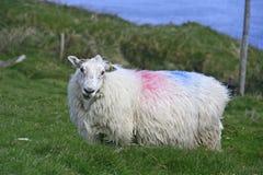 Presentación de ovejas en el campo, Irlanda Foto de archivo libre de regalías