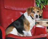 Presentación del beagle Foto de archivo libre de regalías