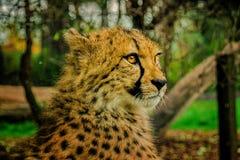Presentación del guepardo Fotos de archivo libres de regalías