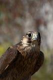 Presentación del halcón Fotos de archivo
