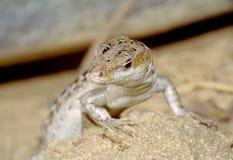 Presentación del lagarto Fotografía de archivo