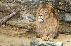Presentación del león Fotos de archivo libres de regalías