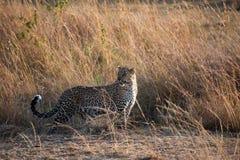 Presentación del leopardo Imagen de archivo