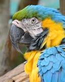 Presentación del Macaw Imagen de archivo