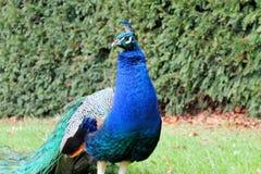 Presentación del pavo real Foto de archivo