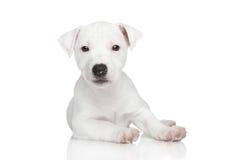 Presentación del perrito de Jack Russel Imagen de archivo libre de regalías