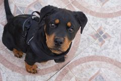 Presentación del perrito de Rottweiler imagen de archivo libre de regalías