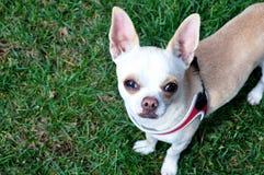 Presentación del perro de la chihuahua Foto de archivo libre de regalías