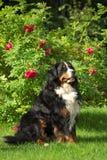 Presentación del perro de montaña de Bernese Imagen de archivo libre de regalías
