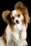 Presentación del perro de Papillon Imagenes de archivo