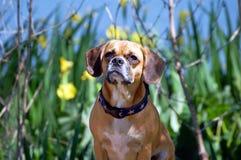Presentación del perro de Puggle Fotos de archivo