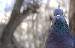Presentación hermosa de la paloma Fotografía de archivo