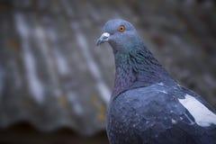 Presentación hermosa de la paloma Fotografía de archivo libre de regalías