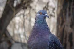 Presentación hermosa de la paloma Imagen de archivo