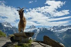Presentación modelo de la cabra en las montañas de Swisss fotos de archivo libres de regalías