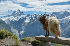 Presentación modelo de la cabra en las montañas de Swisss imagen de archivo libre de regalías