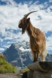 Presentación modelo de la cabra en las montañas de Swisss fotografía de archivo libre de regalías
