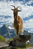 Presentación modelo de la cabra en las montañas de Swisss fotos de archivo