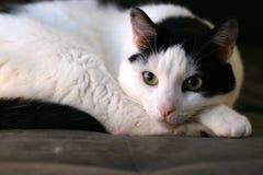 Presentación relajada del gato del animal doméstico fotografía de archivo libre de regalías