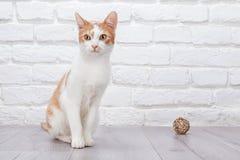 Presentación roja joven del gatito Fotografía de archivo libre de regalías