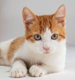 Presentación roja joven del gatito Foto de archivo