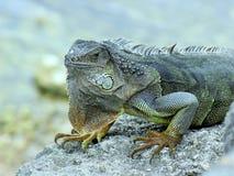 Presentación verde plateada de la iguana Imagen de archivo