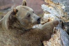 Presentaci?n del oso grizzly foto de archivo libre de regalías