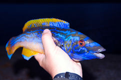 Presentation of cuckoo wrasse Stock Photography