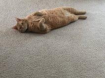Presentazione del gatto Immagini Stock