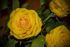 Presente amarelo do amor de Rose Flower Detail Beautiful Valentine Foto de Stock Royalty Free