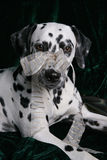 Presente Dalmatian do Natal Fotografia de Stock