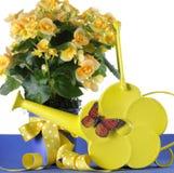 Presente em pasta da planta da begônia amarela bonita com as flores amarelas com a lata molhando da margarida do amarelo da prima Fotografia de Stock Royalty Free