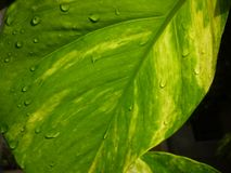 Presento un'immagine del paesaggio di una foglia verde della soldi pianta Fotografie Stock Libere da Diritti