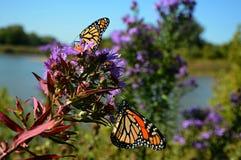 Presenza della farfalla di monarca di mattina Fotografie Stock Libere da Diritti