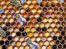 Preservação do pólen. Bee-bread. imagens de stock