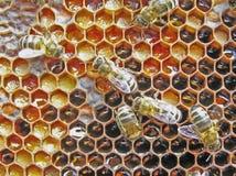 Preservación del polen. Bee-bread. Foto de archivo