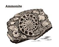 Preserved Ammonite specimen. Fragment fossils, skeleton of prehistoric dead animals in stone. Archeology or paleontology. Engraved hand drawn old vintage Stock Photo