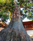 Preserved old tree at Kasuga Taisha in Nara Royalty Free Stock Photos