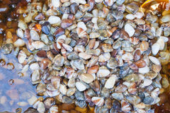 Preserved Razor clam Royalty Free Stock Photos