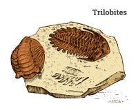 Preserved trilobite specimen. Fragment fossil, skeleton of prehistoric dead animal in stone. Archeology or paleontology. Preserved trilobite specimen. Fragment Stock Photo