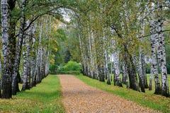 """Preshpekt en †del otoño """"la avenida de los árboles de abedul en Yasnaya Po Imagen de archivo libre de regalías"""