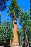 President McKinley Giant Sequoia Royalty Free Stock Photo