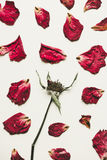 Press dried rose flower with petals, on white paper, vintage tone Royalty Free Stock Photos