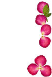 Press flowers by red rose Stock Images