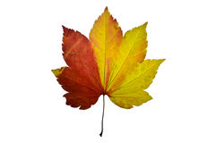 Press leaf  maple tree Royalty Free Stock Images