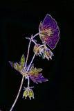 Pressande blomma för neon blått på svart Arkivfoton