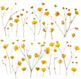Pressande gula vildblommar Royaltyfri Foto