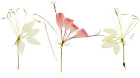 Pressande och torkad blommacleome eller spindelblomma som isoleras Royaltyfri Foto