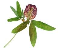 Pressande och torkad blommaväxt av släktet Trifolium Isolerat på vit Royaltyfria Foton