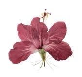 Pressande och torkad isolerad blommahibiskus Royaltyfri Fotografi